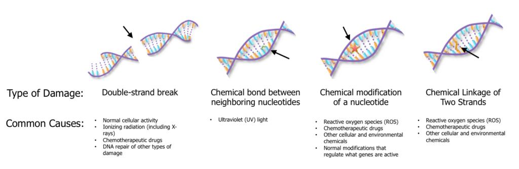 DNA Damage Illustrations